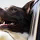 animais estimação transporte carros cartrack